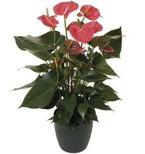 Te koop Anthurium andreanum planten