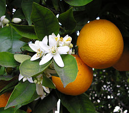 Te koop Sinaasappels
