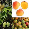 Te koop Mango