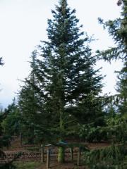 Park naaldboom