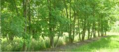 Meerstammige bomen