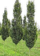 Zierbäume von brienissen bomen