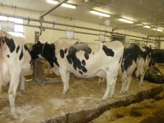 Cattle export