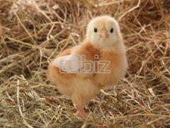 Chicken incubative eggs